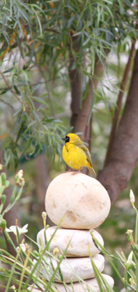 Masked Weaver in the garden